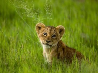 lion-cub-singita-castleton